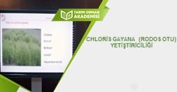 Chloris Gayana (Rodos Otu) Yetiştiriciliği